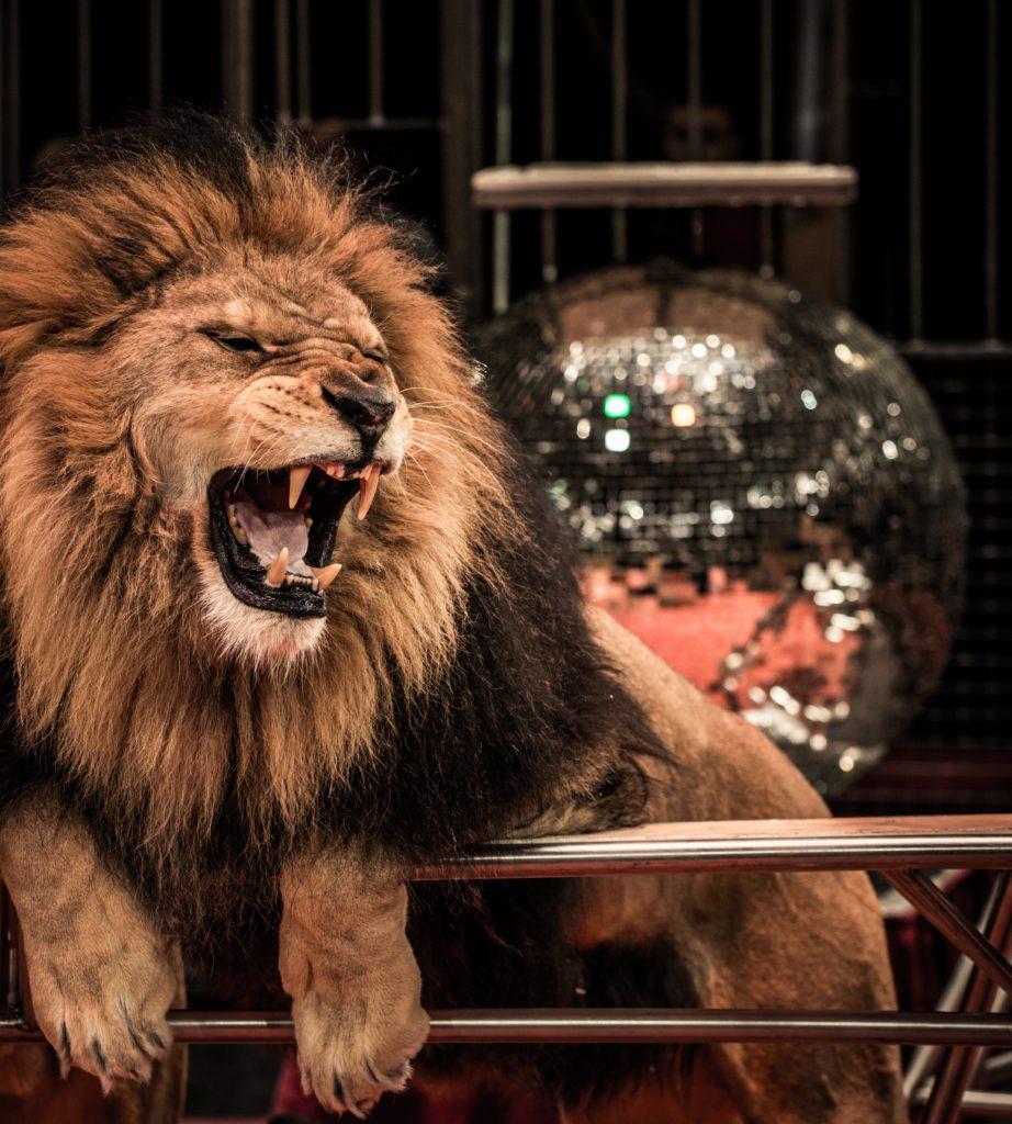 Circus darf mit Wildtieren auftreten