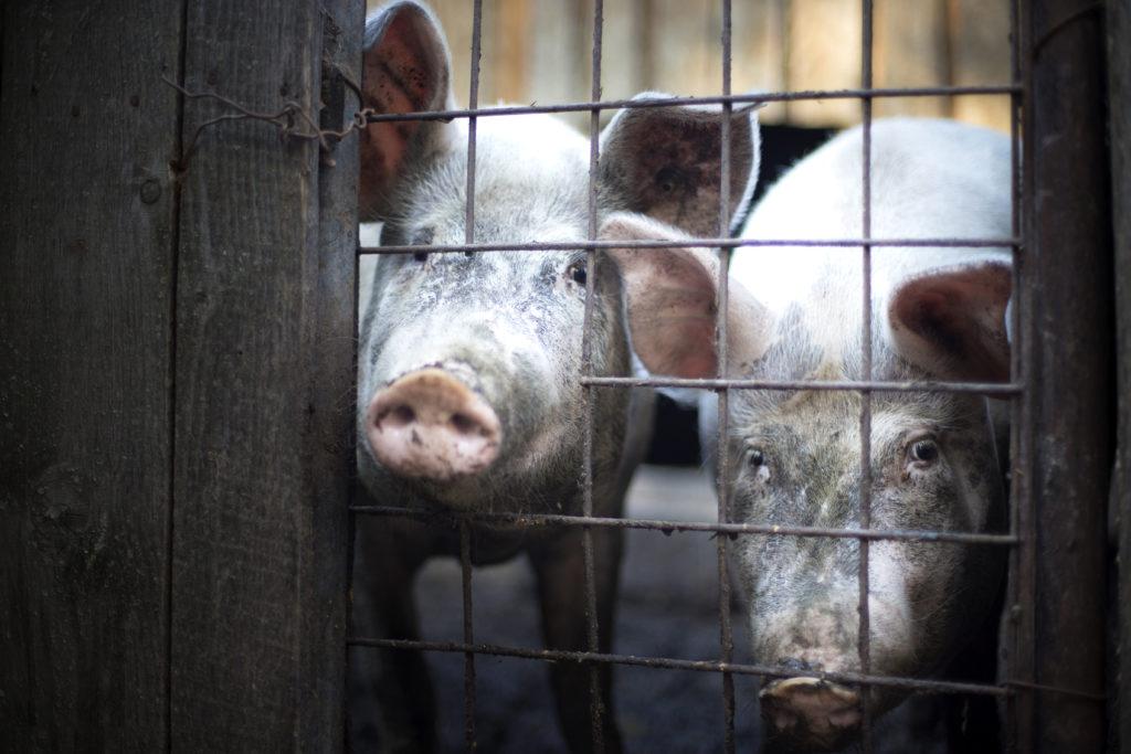 Prozess gegen Merklingen Schweinemastbetrieb